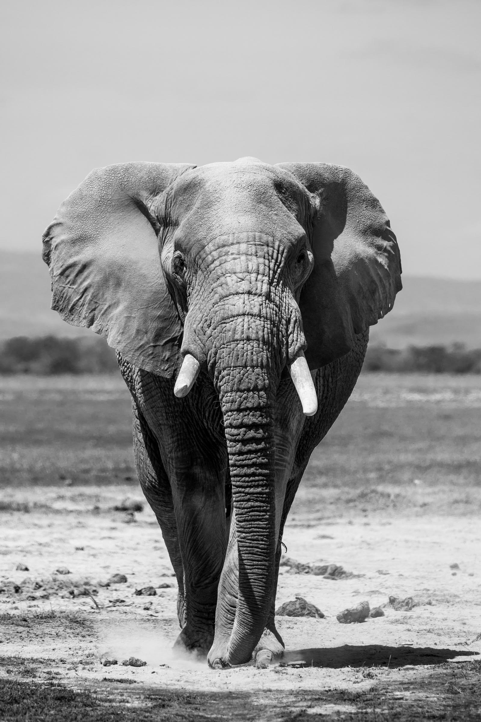 The ecological role of elephants: shaping the land and lending a hand