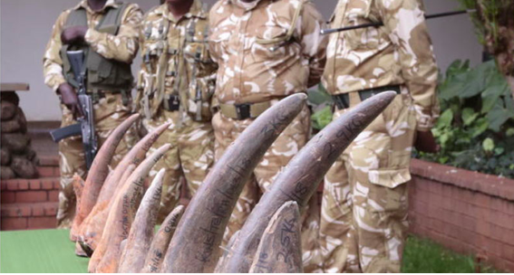 Two Nabbed in Eastleigh With Rhino Horns