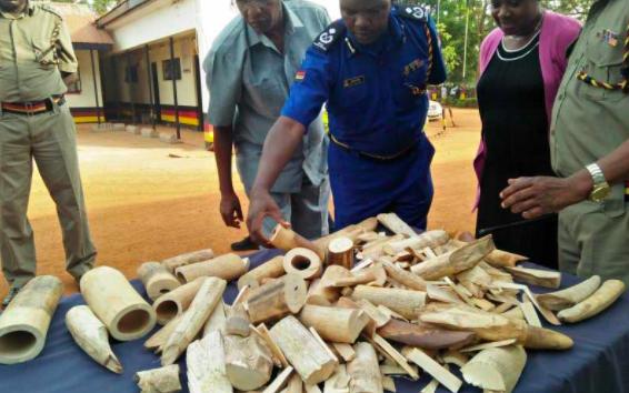 Ugandan Held with 42 kg of Ivory and Wildlife Bones – Busia