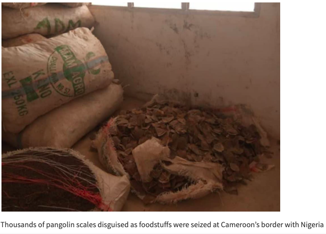 Pangolin scales worth £5m seized in Cameroon on 'major trafficking route'