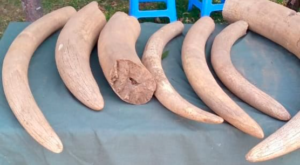 Government Official and Police Officer Among 3 found with 51 kg of Ivory